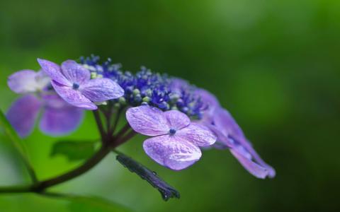 注文の多い料理店・序(10)2020年の紫陽花