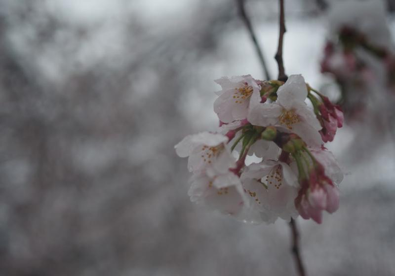 9353_注文の多い料理店・序(9)2020年の桜