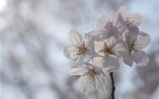 注文の多い料理店・序(8)2019年の桜
