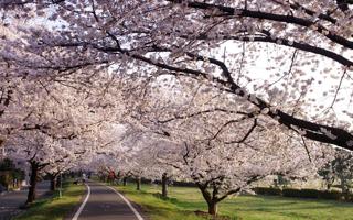 満開の桜の下で、「老いと向かいあう住まい」を思う