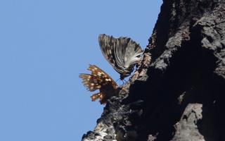 狭山丘陵の蝶やトンボ